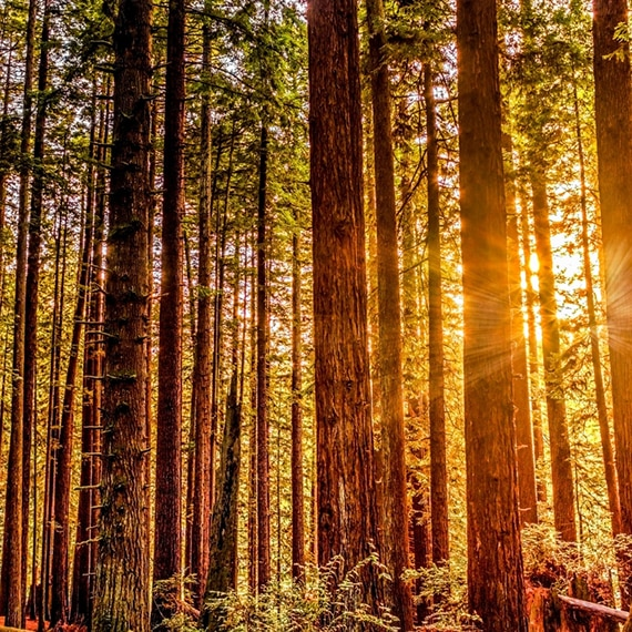 Sun shining through the leaves and trunks of tall redwood trees.